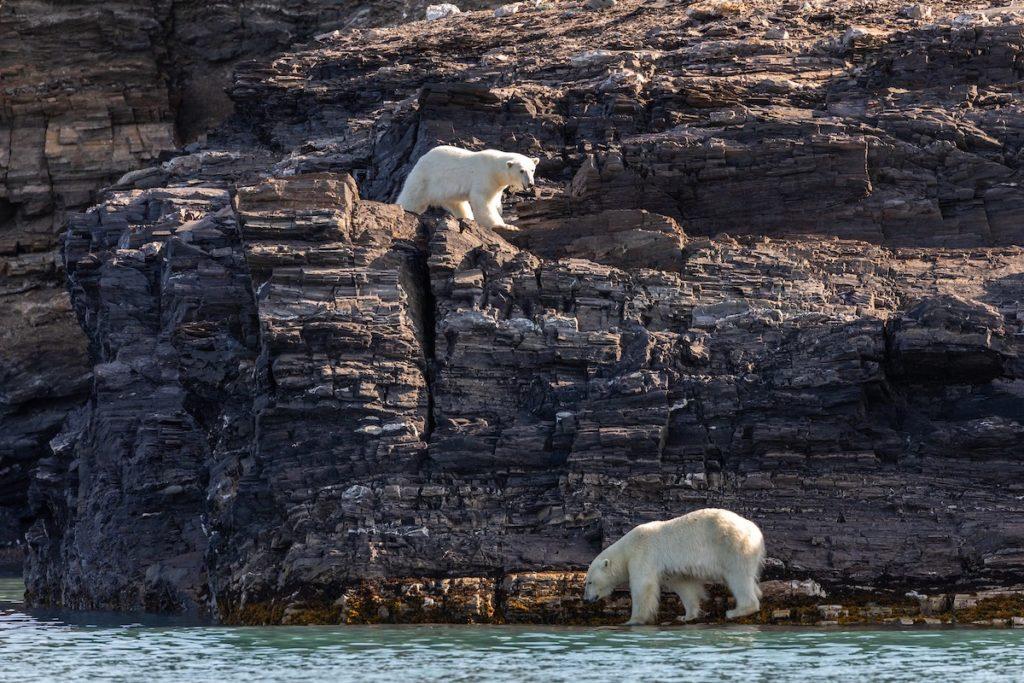 Ours blancs durant une croisière Silversea en Arctique